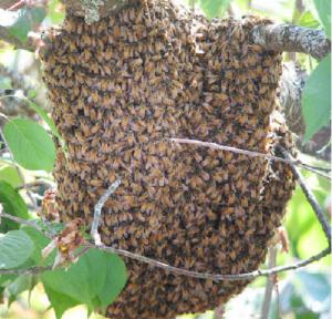 alverare di api